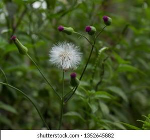 Dandylion handy flower