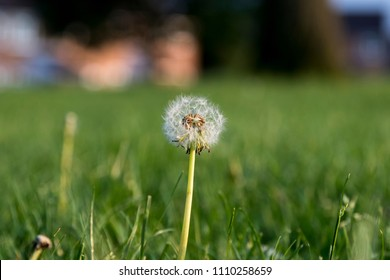 Dandylion plant ready to scatter its seeds