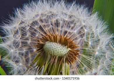 DandyLion seed Macro and super macro