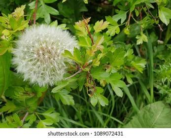 Dandylion seeds among green leaves.