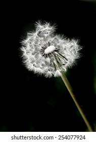 Dandylion weeds in a yard or field on black background