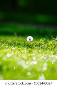 Dandylion Wishy in green grass, green background, bokeh and light