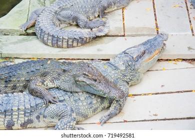 danger predator reptile animal crocodile near side water