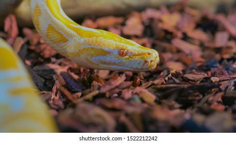 Danger yellow snake in terrarium in zoo