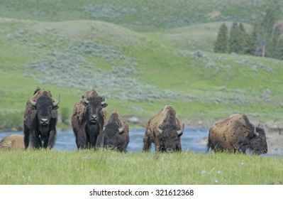 Danger-Bison herd stares at the camera in Yellowstone.