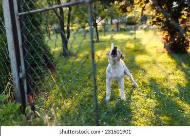 Gefährlicher aggressiver Hund hinter dem Zaun
