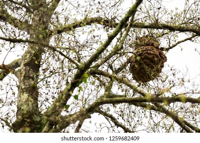 Dangerous Asian Hornet Hive at the Tree.