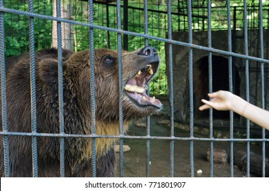Dangerous bear feeding through a cage, focus on the eye of the animal; Carpathian bear with open mouth; Wild animal in captivity