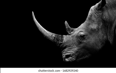 Dangerous Big Horn Rhino Face