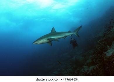 Dangerous big Shark diving safari wild  sea picture