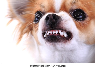 dangerous chihuahua face isolated on the white background