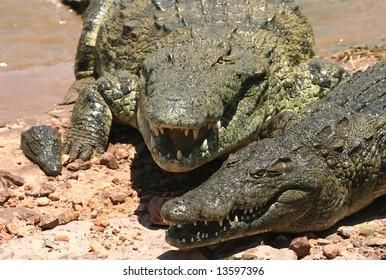 Dangerous Crocodiles on the bask of the Kariba lake. Zambia. Africa