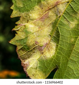 A dangerous disease of grape Mildew - downy mildew ( lat. Of plasmopara viticola ). Grape leaves, due to the active reproduction of the fungus, covered with moldy plaque