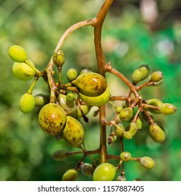 A dangerous disease of grape Mildew - downy mildew ( lat. Of plasmopara viticola ). Grape berries affected by the disease