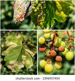 A dangerous disease of grape Mildew - downy mildew ( lat. Of plasmopara viticola ). Leaves and berries of grapes, because of the active reproduction of the fungus, covered with a mold-like coating