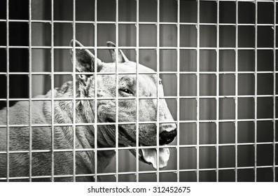 dangerous enraged english bull terrier dog