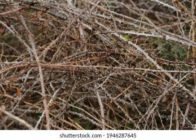 Dangerous field of crisscrossing dry brambles.