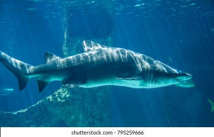 dangerous and huge shark swimming under sea