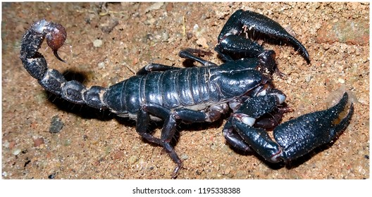 Dangerous Indian pandinus giant black scary scorpion close up macro on ground with claws