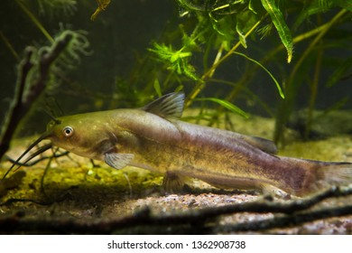 dangerous invasive freshwater predator fish Channel catfish, Ictalurus punctatus, search for prey in biotope aquarium