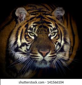 Dangerous looking tiger