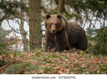 Dangerous meeting with massive huge brown bear in the forest. Close up big bear in spring woodland