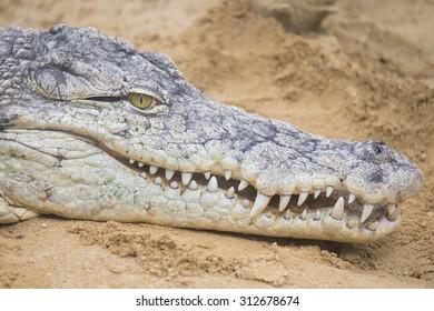 a dangerous Nile Crocodile