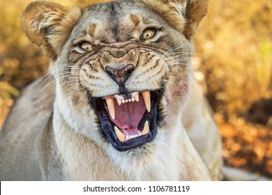 Dangerous snarling lioness. Wild lion, National Park South Africa