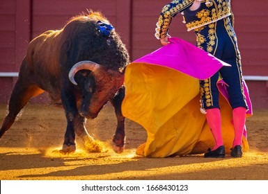 DANGEROUS SPANISH BULLS. A BREED FOR BULLFIGHTS