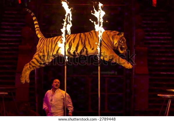Dangerous trick - tiger jumping through the fire