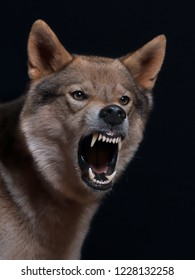 dangerous wolf dog frontal, showing his teeth, barks and looks dangerous, studio shot with black background
