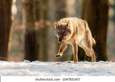 dangerous wolfis running at snowy forest