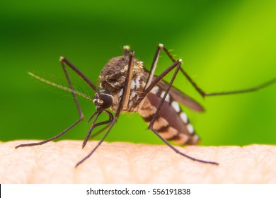 Dangerous Zica virus aedes aegypti mosquito on human skin in green background , Dengue, Chikungunya, Mayaro fever