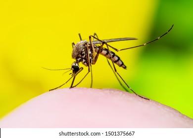 Dangerous Zika Infected Mosquito Bite on Yellow Background. Leishmaniasis, Encephalitis, Yellow Fever, Dengue, Malaria Disease, Mayaro or Zika Virus Infectious Culex Mosquito Parasite Insect Macro.