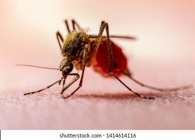 Dangerous Zika Infected Mosquito on Skin. Leishmaniasis, Encephalitis, Yellow Fever, Dengue, Malaria Disease, Mayaro or Zika Virus Infectious Culex Mosquito Parasite Insect Macro.