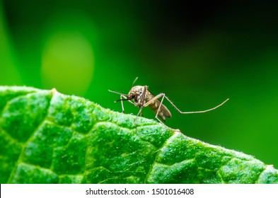 Dangerous Zika Infected Mosquito on Green Background. Leishmaniasis, Encephalitis, Yellow Fever, Dengue, Malaria Disease, Mayaro or Zika Virus Infectious Culex Mosquito Parasite Insect Macro.