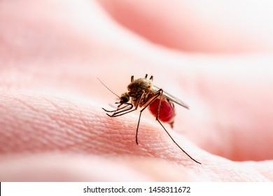 Dangerous Zika Infected Mosquito Skin Bite. Leishmaniasis, Encephalitis, Yellow Fever, Dengue, Malaria Disease, Mayaro or Zika Virus Infectious Culex Mosquito Parasite Insect Macro.
