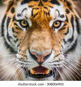 Dangerously close up portrait of tiger before attack