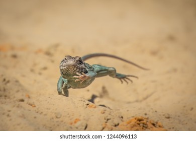 Dangerously looking lizard on dry land. Desert is the typical environment for this beautiful animal.