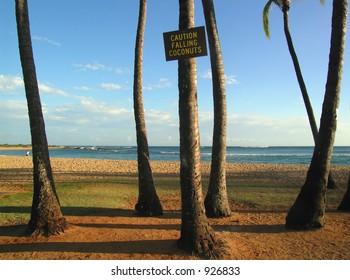 the dangers of kauaian beaches - falling coconuts, warm sun, warm ocean and yellow sand...