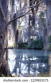 Dangling spanish moss from a tree over a swamp