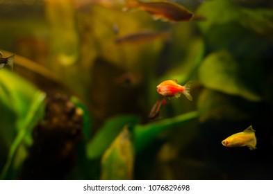 Danio fish in aquarium.