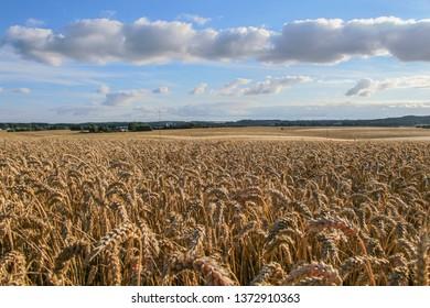 Danish corn field near Aarhus