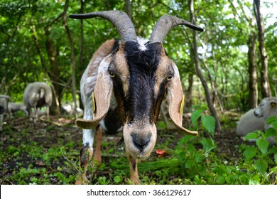 Danish Goat peering into the camera