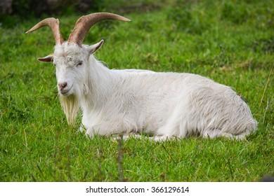 Danish Landrace Goat smiling
