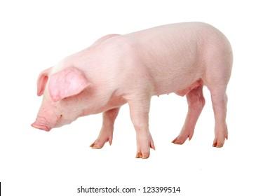 Danish Landrace pig breeds. Isolated on white background