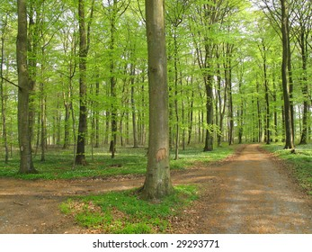 Danish spring beech forest with delicate green leaves.