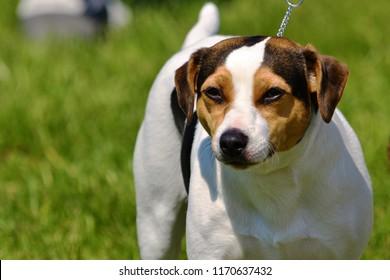 Danish swedish farm dog typical representative