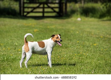 Danish Swedish Farmdog. This breed, which originates from Denmark and southern Sweden is lively and friendly.