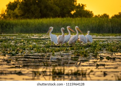 Danube Delta Pelicans at sunset on Fortuna Lake
